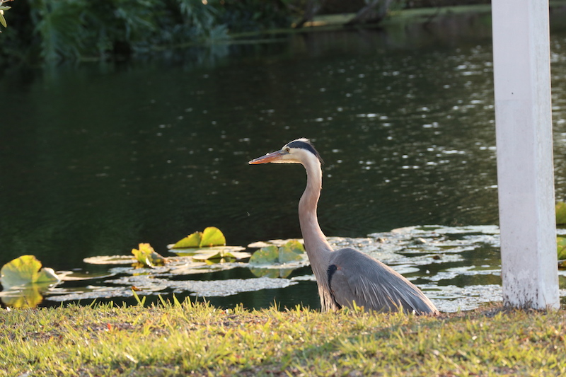 Great blue heron fishing in front of our site at Tropical Palms RV Resort, Kissimmee, FL